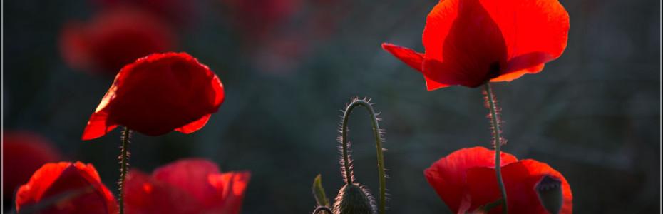 Mohnblume Gegenlicht Abendrot