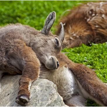 Wild-schlafend