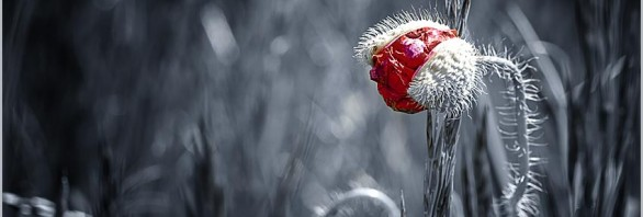 Color-Key-Mohn