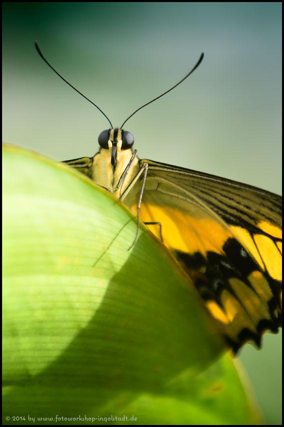 Schmetterling fotografieren
