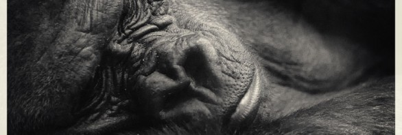 Gorillaschutz Tierfotografie Fotoworkshop Ingolstadt