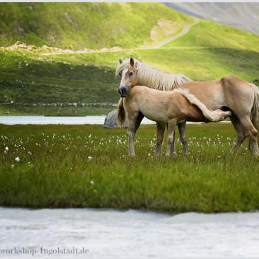 Pferde Fohlen Fotoworkshop Ingolstadt