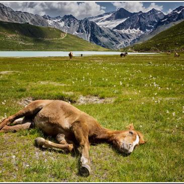 wilde Pferde Fohlen Riffelsee Alpen